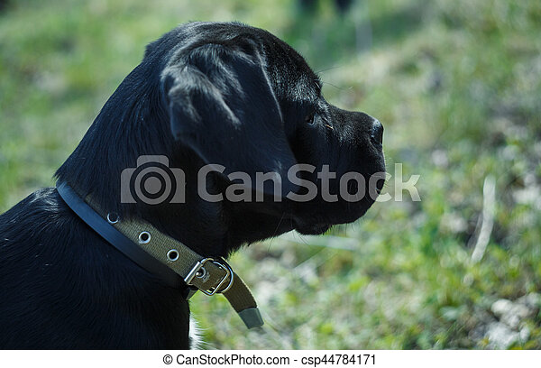 Puppy Cane Corso Black Color On The Background Of Nature Puppy Cane