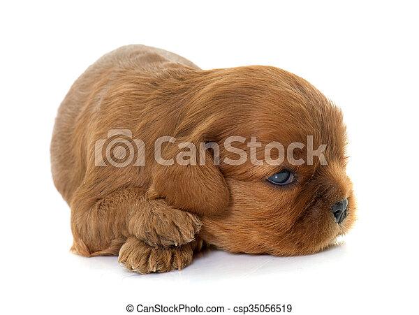 puppy cavalier king charles - csp35056519