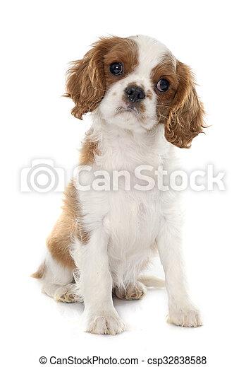 puppy cavalier king charles - csp32838588