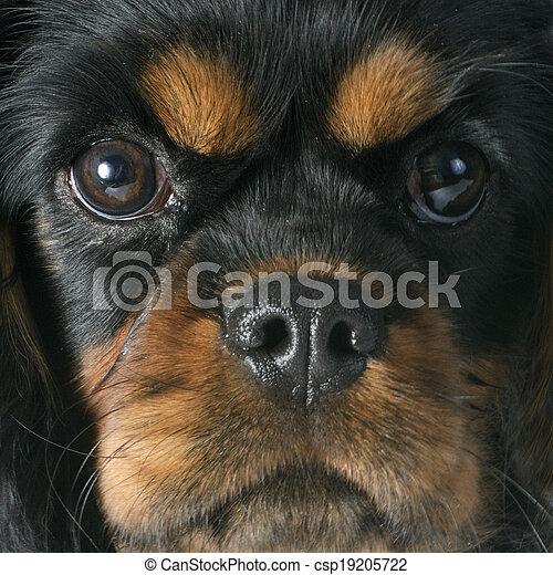 puppy cavalier king charles - csp19205722