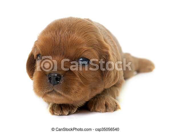 puppy cavalier king charles - csp35056540