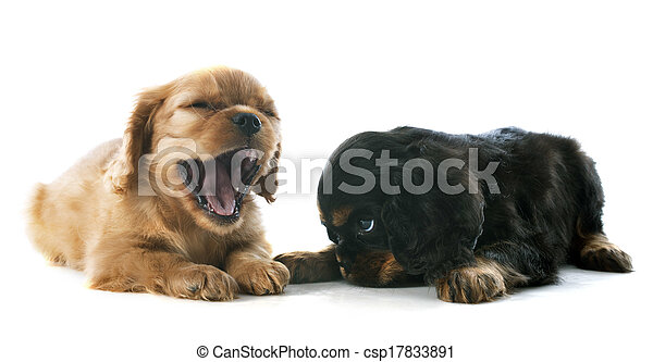puppy cavalier king charles - csp17833891