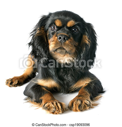 puppy cavalier king charles - csp19093096