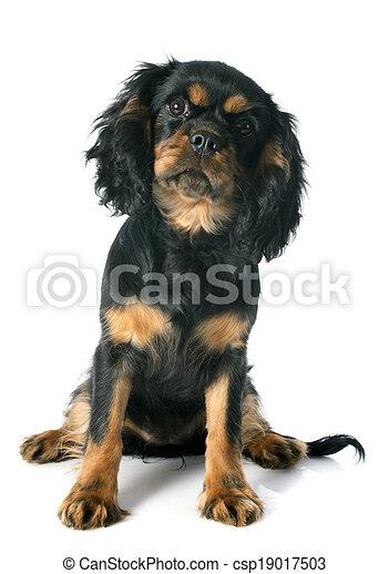 puppy cavalier king charles - csp19017503