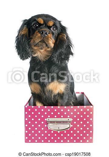 puppy cavalier king charles - csp19017508