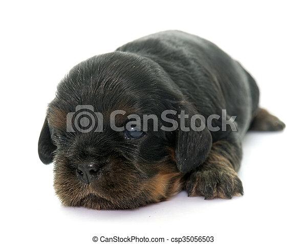 puppy cavalier king charles - csp35056503