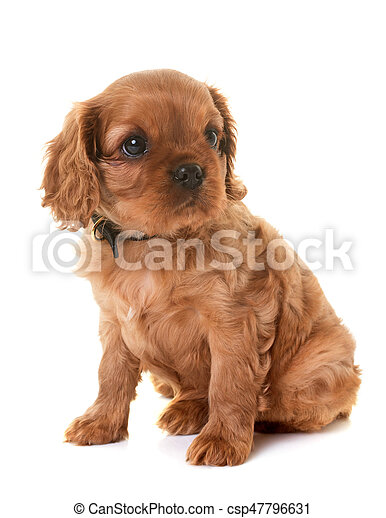 puppy cavalier king charles - csp47796631