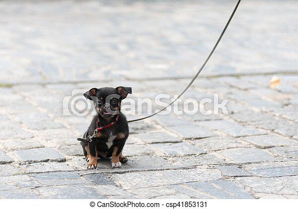 puppy dog on a leash - csp41853131