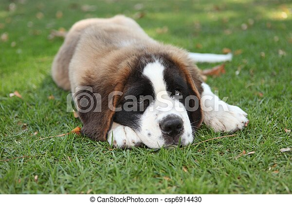 Puppy Dog Outdoors in the Grass - csp6914430