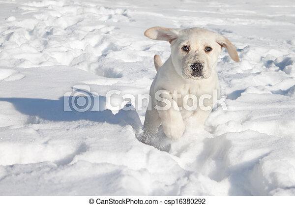 Puppy Dog Running Winter Labrador Retriever Puppy Dog Running In Snow