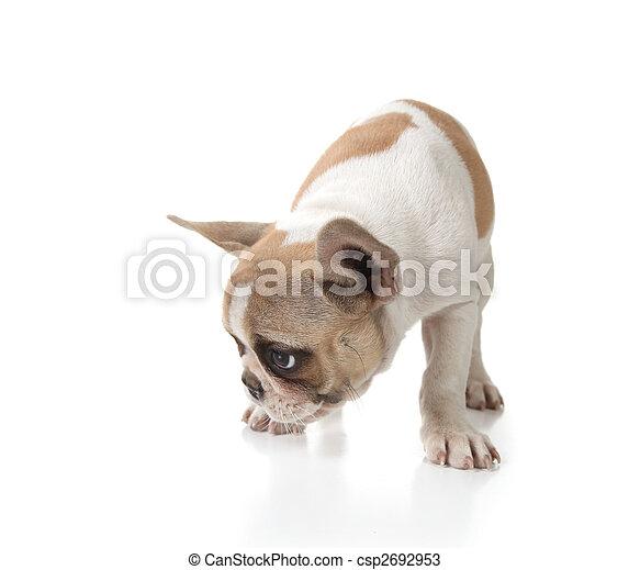 Puppy Dog Sniffing on the Ground - csp2692953