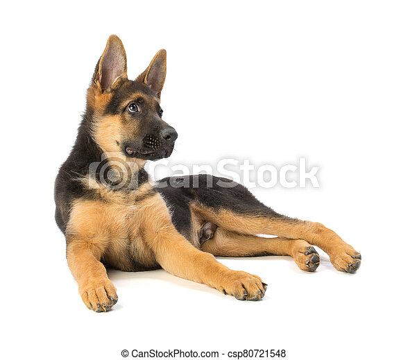 Puppy german shepherd lying - csp80721548