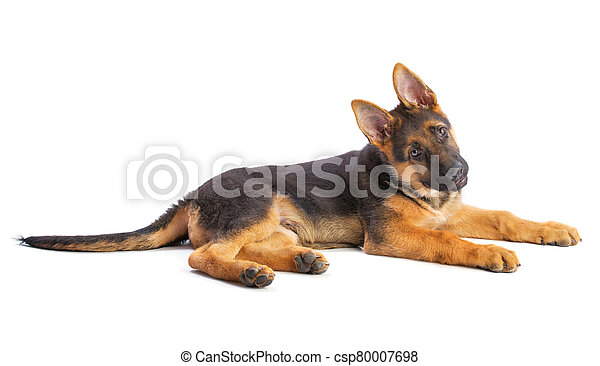 Puppy german shepherd lying with the head fished - csp80007698