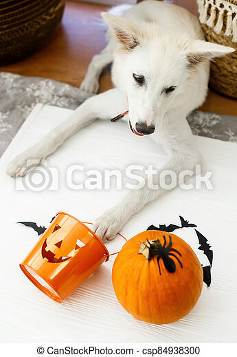 Puppy holding Jack o lantern candy pail on white background with pumpkin, bats and spider decorations, celebrating halloween at home. Trick or treat! - csp84938300