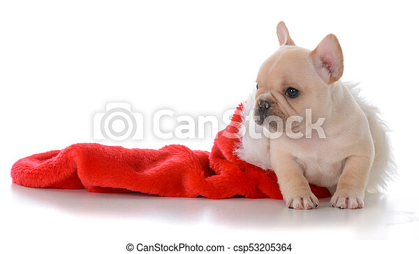 French Bulldog Christmas Stocking.Puppy In Christmas Stocking