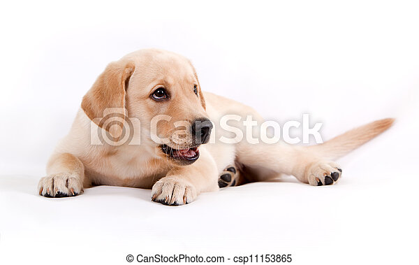 puppy of the Labrador on a white background - csp11153865