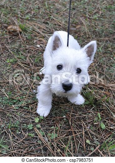 Puppy of west highland white terrier - csp7983751