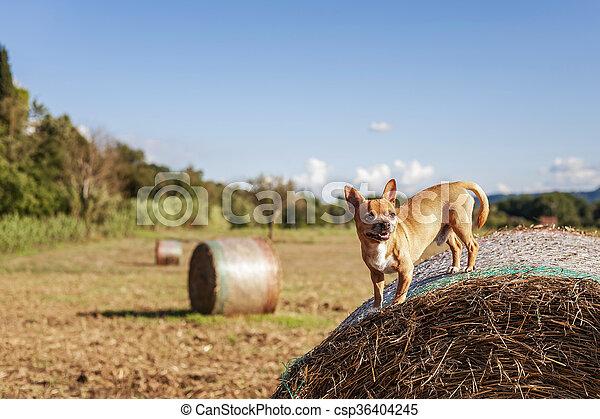 Puppy on big hay bale - csp36404245
