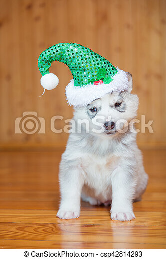 Husky Christmas Puppy.Puppy Siberian Husky Puppy Wearing A Christmas Hat