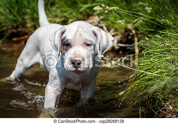 Puppy wades in the water - csp28268138