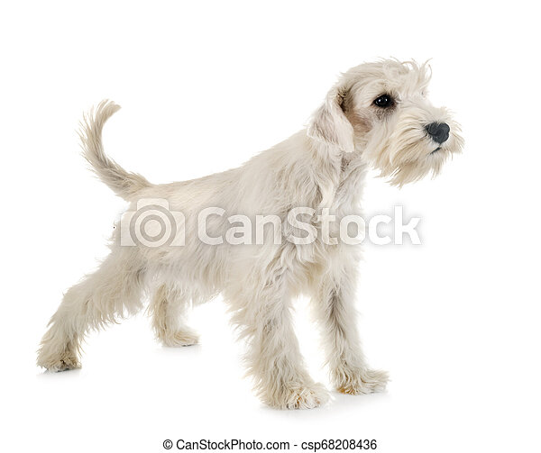Puppy White Miniature Schnauzer In Front Of White Background Canstock