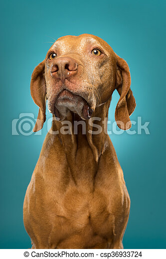 pure breed golden hungarian vizsla dog portrait on blue background - csp36933724