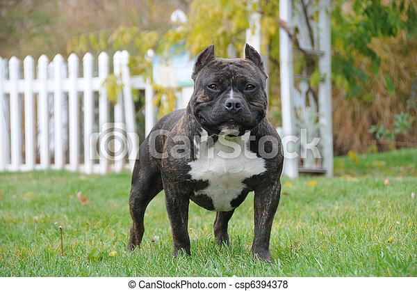 Purebred Canine American Bully Dog - csp6394378