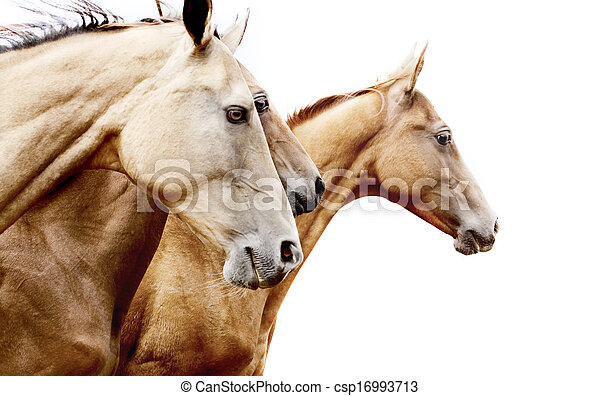purebred horses - csp16993713