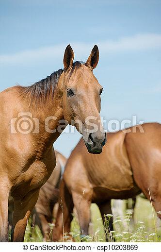purebred, paarde, kudde - csp10203869