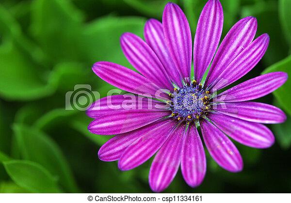 purpere bloemen, osteospermum, madeliefje - csp11334161