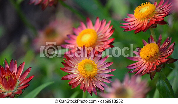 Purple And Red Flowers With Yellow Center In A Garden
