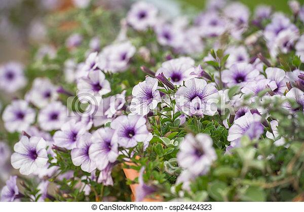 Purple And White Petunia Flowers Purple And White Petunia Flowers
