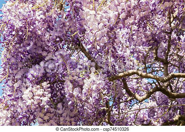 Closeup Of Purple And White Wisteria Floribunda Japanese