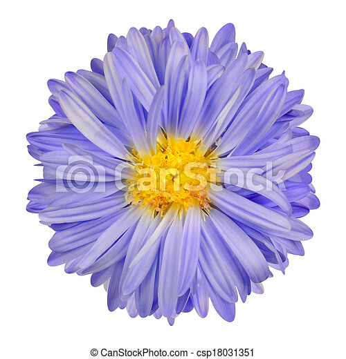 Purple aster flower with yellow center isolate on white purple purple aster flower with yellow center isolate on white csp18031351 mightylinksfo