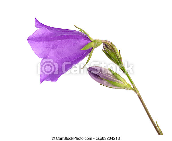 Purple bell flower isolated on white background. Beautiful blooming bouquet. - csp83204213