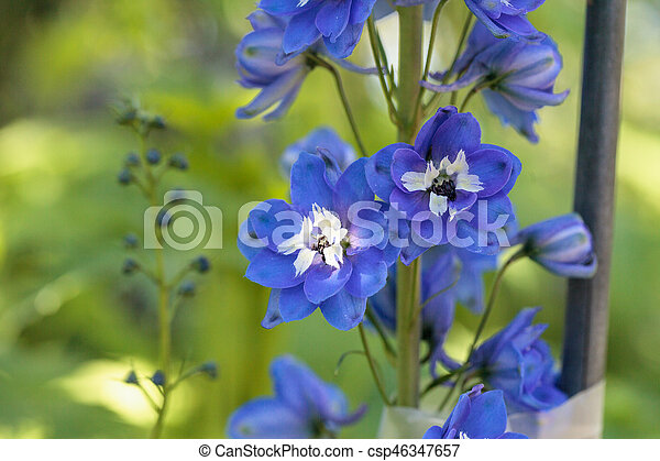 Purple blue and white larkspur flower known as delphinium blooms in purple blue and white larkspur flower csp46347657 mightylinksfo