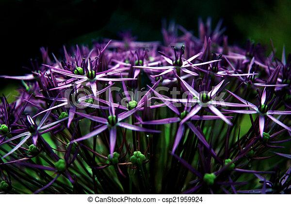 purple bulbous allium flower head - csp21959924