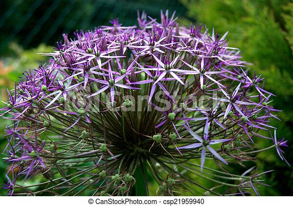 purple bulbous allium flower head - csp21959940