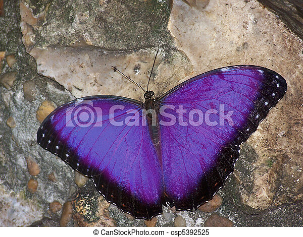 Purple Butterfly - csp5392525