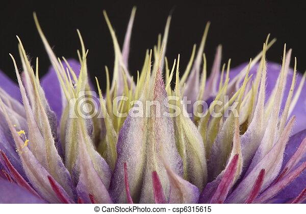 purple clematis flower on a black background - csp6315615
