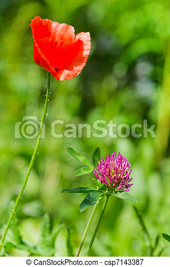 Purple Clover And Red Poppie Purple Clover Flower And Red Poppie In
