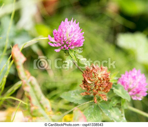 Purple clover flowers in nature purple clover flowers in nature csp41338543 mightylinksfo