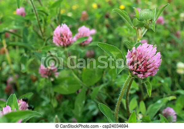Purple Clover Wild Flower In Midwest United States Meadow Purple