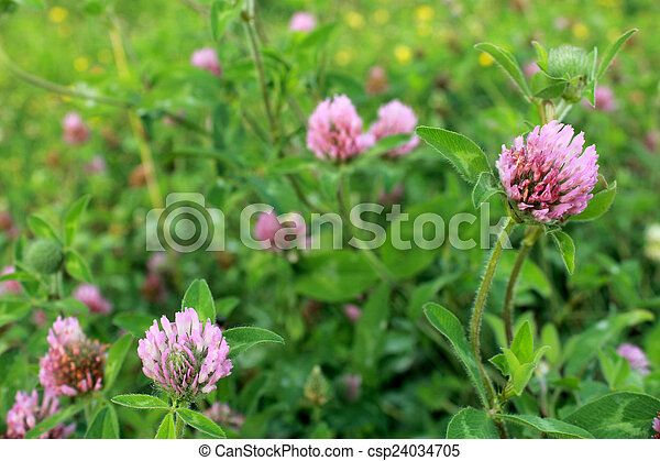 Purple clover wild flower in midwest united states meadow purple purple clover wild flower in midwest united states meadow csp24034705 mightylinksfo