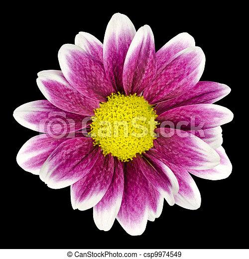 Purple dahlia flower with yellow center isolated purple dahlia purple dahlia flower with yellow center isolated csp9974549 mightylinksfo