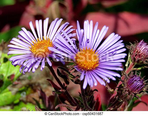 Purple daisies in forest - csp50431687