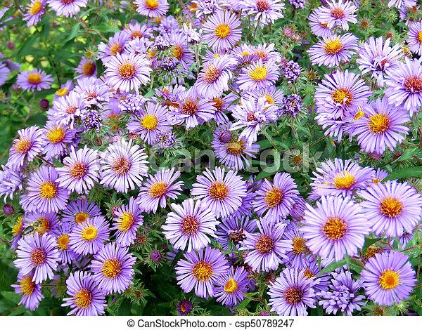 Purple daisies - csp50789247