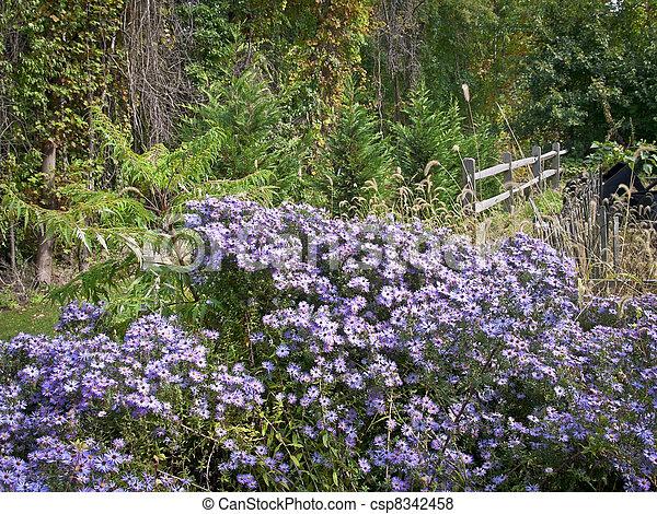 Purple Daisy Field - csp8342458