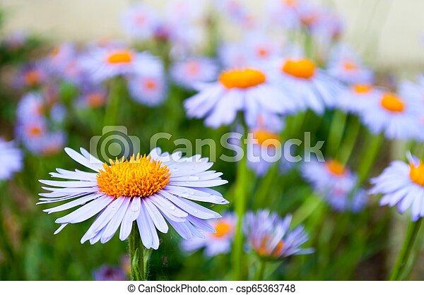 Purple daisy (marguerite) in the garden - csp65363748