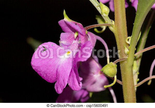 purple flower on a black background. macro - csp15600491